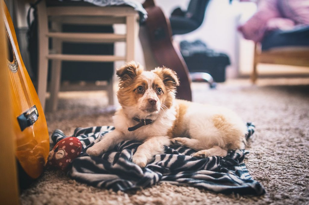 Caring for your carpets if you have pets in the home